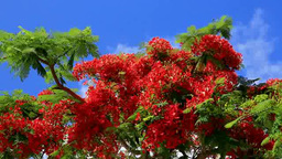 Royal poinciana Footage