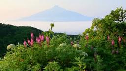 礼文林道のレブンシオガマと利尻富士 Footage