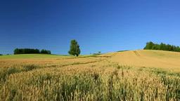 小麦畑と一本木 Stock Video Footage