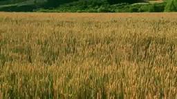 Wheat fields and the Tokachi mountain range Stock Video Footage