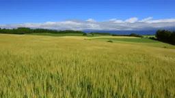 大麦畑と夏の丘 Footage