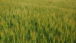 大麦畑と夏の丘 Stock Video Footage