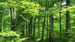 Beech forest Stock Video Footage