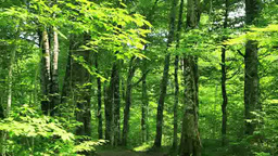 Beech forest Footage