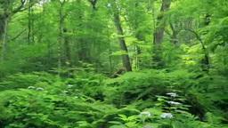 奥入瀬の森 Stock Video Footage