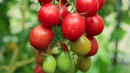 Cherry tomato Stock Video Footage