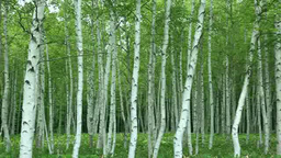 White birch forest Stock Video Footage