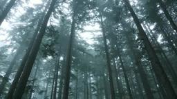 霧の針葉樹の森 Footage