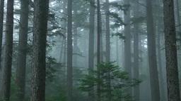霧の針葉樹の森 Stock Video Footage