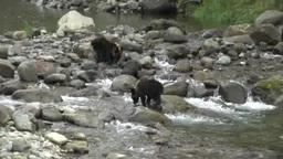 知床のヒグマの兄弟 Stock Video Footage