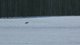 A red fox trailing on a snowy landscape Stock Video Footage