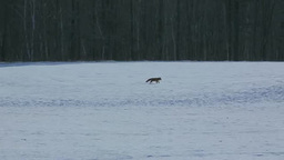 A Red Fox Trailing On A Snowy Landscape stock footage