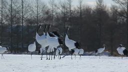 Red crowned crane calling one another Stock Video Footage