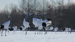Red crowned crane calling one another Footage