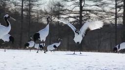 Dance of Japanese crane Stock Video Footage