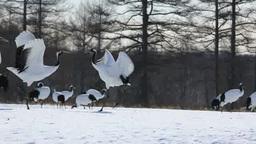 Dance of Japanese crane Footage