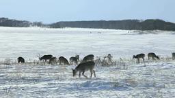 Yezo deer Stock Video Footage