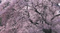 風に揺れる桜 Footage