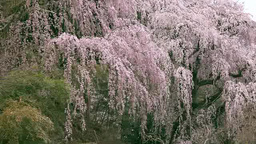 The weeping cherry tree in Fukushu temple Stock Video Footage