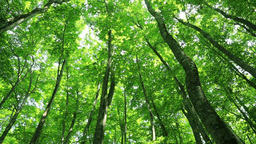 Green beech forest Stock Video Footage