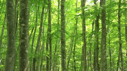 Green beech forest Footage