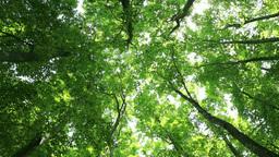 Green beech forest Stock Video Footage