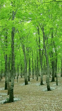 八甲田の新緑のブナ林と残雪 Stock Video Footage