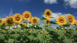 Sunflower field Footage