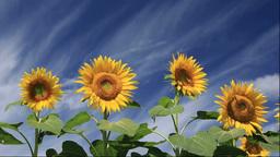 Sunflower field Stock Video Footage