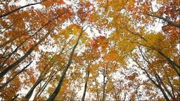 Autumn beech tree forest Stock Video Footage