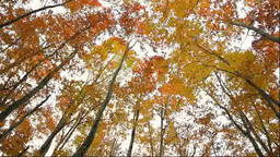 Autumn beech tree forest Footage