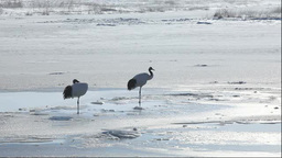 A pair of Red-crowned cranes Footage