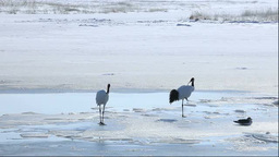 A pair of Red-crowned cranes Stock Video Footage