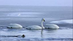 濤沸湖の白鳥の食事 Footage