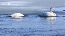濤沸湖の白鳥の食事 Stock Video Footage