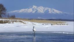 Japanese cranes of Lake Tofutsu and Mount Shari Stock Video Footage