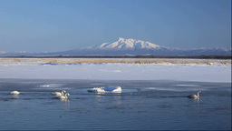 Swans in Lake Tofutsu and Mount Shari Footage