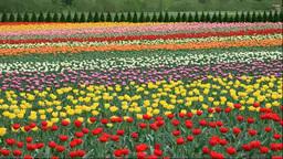 Kamiyubetsu Tulip Park Footage