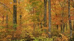 白神山地の岳岱自然観察教育林の紅葉のブナ林... Stock Video Footage