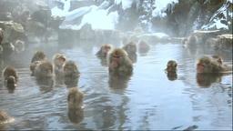 地獄谷野猿公苑の温泉に入る猿 Stock Video Footage