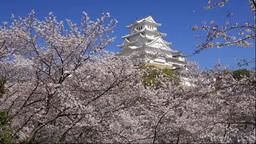 姫路城と桜 Footage