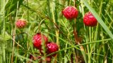 Wild Strawberry Close-up stock footage