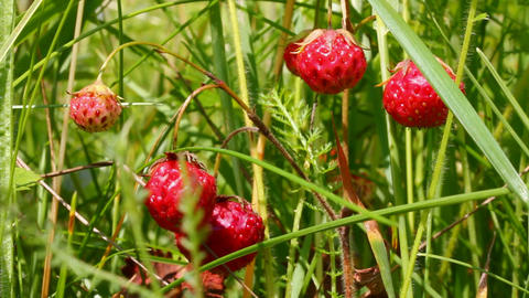 wild strawberry close-up Stock Video Footage