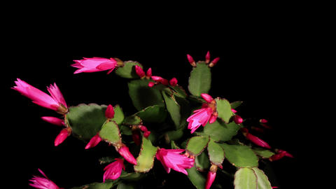 Epiphytic cactus bloom on the black background... Stock Video Footage
