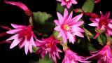 Epiphytic cactus bloom on the black background (Schlumbergera) timelapse Footage