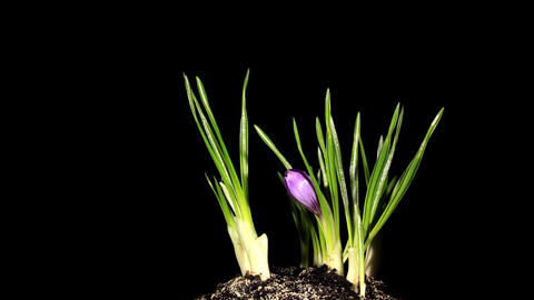 Growth of violet crocuses on the black background (crocus... Stock Video Footage