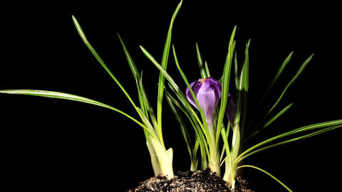 Growth of violet crocuses on the black background (crocus... Stock Video Footage