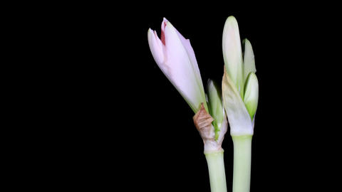 Time-lapse Opening white amaryllis (Amaryllis belladonna L.) Stock Video Footage