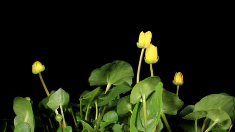 Spring blooms of yellow flowers primroses (Ranunculus... Stock Video Footage