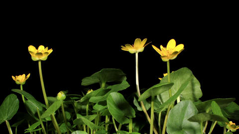Spring blooms of yellow flowers primroses (Ranunculus... Stock Video Footage